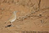 Greater Hoopoe-LarkAlaemon alaudipes alaudipes
