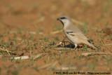 Desert SparrowPasser simplex saharae