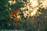 Marsh OwlAsio capensis tingitanus