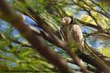 Southern White-Faced Scops-OwlPtilopsis granti