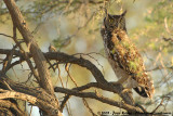 Spotted Eagle-OwlBubo africanus africanus