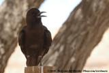 Kaapse Roek / Cape Crow