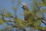 Witstuitmuisvogel / White-Backed Mousebird