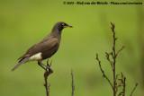 Tweekleurige Glansspreeuw / Pied Starling