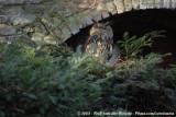 Oehoe / Eurasian Eagle-Owl