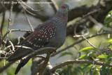 Guineaduif / Speckled Pigeon