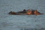 Hippopotamuses  (Nijlpaarden)