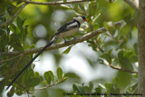 Dominicanerwida / Pin-Tailed Whydah