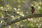 Amethistspreeuw / Violet-Backed Starling