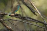 Angolees Blauwfazantje / Blue Waxbill