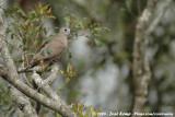 Smaragdvlekduif / Emerald-Spotted Wood-Dove
