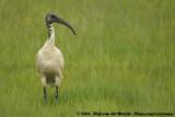 Heilige Ibis / Sacred Ibis