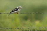 Helmklauwier / White-Crested Helmet Shrike