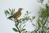 Geelkeellangklauw / Yellow-Throated Longclaw