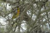 Oranje Bosklauwier / Sulphur-Breasted (Orange-Breasted) Bush-Shrike