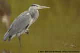 Grey HeronArdea cinerea cinerea