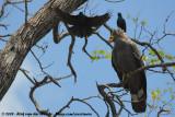 African Harrier-HawkPolyboroides typus typus