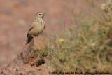 Woestijnleeuwerik / Desert Lark