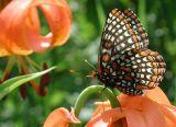 Butterflies, Skippers, and Moths
