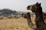 Camels during the Puskar Fair