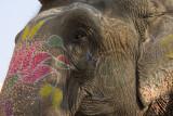 Elephant near Amber Fort, Jaipur