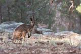 Kangaroo in Flinders Ranges