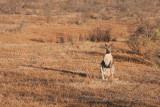Kangaroo Enjoying the early sun
