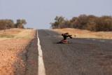 Road Kill Attracts Birds of Prey