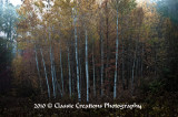 Birch Trees_HDR2.jpg