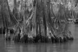 Cypress Knee Lagniappe