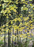 Young Trees of Fall