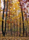 Fall Trees Scene 2008