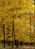 Yellow Forest of Fall