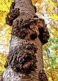 Burls on Tree Trunk