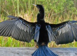 Everglades:  male anhinga drying it's feathers