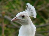 White Peacock 11