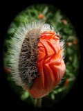 Emerging Poppy Blossom