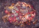 Smashed Turtle