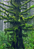 Moss-on-Tree-in-Fog