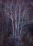W.V-Trees-3