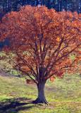 W.V-Trees-5