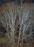 W.V-Trees-2