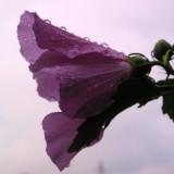 Wet hibiscus