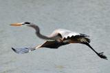 2 22  08 Rockport Heron