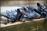 Pigeons on lunch