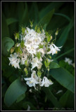 White little flowers -- sorry really bad with names of flowers :-)