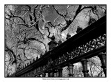 Trees Over the Fence of Osgoode Hall