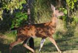 Deer in our Fenced Yard