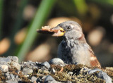 House Finch with Munchie