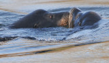 Sealions -- A Tender Moment